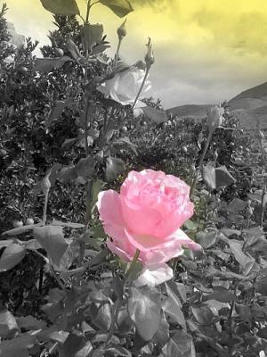 20061106192804-rosas-en-ablamini1.jpg