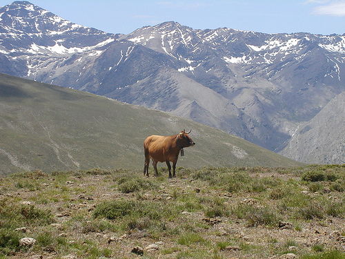 Vaca Sierra Nevada
