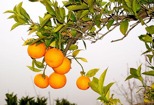 Abla naranja
